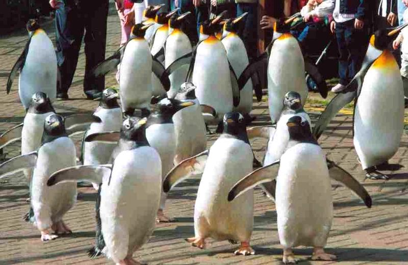 edinburgh_zoo_penguin_parade
